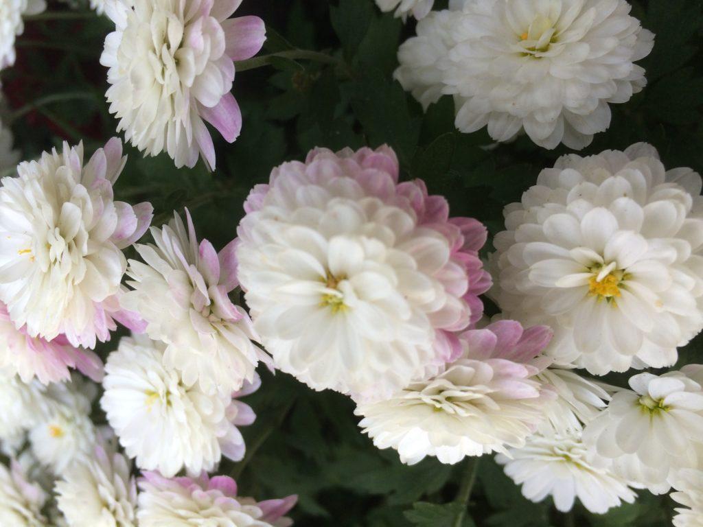Flowers in Hibiya Garden